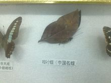 枯叶蝶(中华名碟)