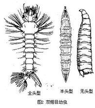 双翅目幼虫