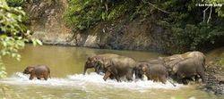 婆罗洲侏儒象群