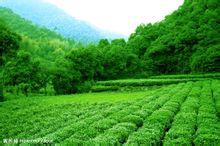安溪——长坑乡.茶山景观