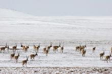 西藏野生动物