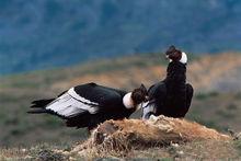 安第斯秃鹰啄食原驼