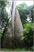 高大的热带乔木