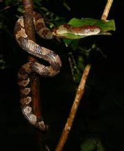 缅甸钝头蛇